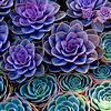 strange_loop: (succulents)