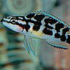 littlemousling: Photo of a fish (Julidochromis transcriptus) whose side markings resemble the word HELLO (fish)