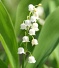 kotyata: (цветы)