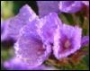 kotyata: (сиреневые цветы)
