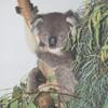 yury: (koala)