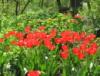 ksun_scher: (тюльпаны)