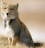 odyn_owl: (tibetan fox)