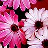 denyce: (Stock: pink daisies)