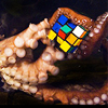 starlady: An octopus solving a Rubik's cube.  (original of the species)