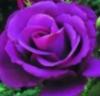 violetr777: (VioletRose)
