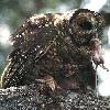 aite: (Owl hunts mouse)