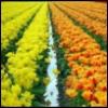 janedzyuban: (голандские тюльпаны)