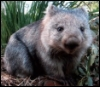 ext_99456: Wombat pretending to be cute. (Default)