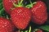 janya: (strawberries)