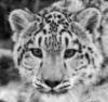 snow_leopard: (snow leopard)