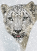 snow_leopard: (snow leopard gif)