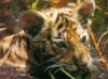 tigrenok: (Тигрёнок)