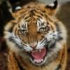 tigrenok: (angry-baby-tiger)