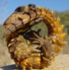 escargon: (lizard)