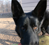slave2tehtink: A black German Shepherd's face, tight to his eyes, which are intense and inquiring and slightly silly. (Sid inquiring)