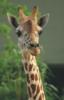 blog_vadim: (Жираф)