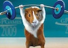 firecat: guinea pig appearing to lift a barbell (guinea pig)