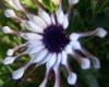 daturabelle: (daisy)