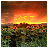 beautiful_dreams_25: Early dawn on sunflowers (Genesis)
