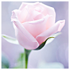 beautiful_dreams_25: white rose (child of the light)