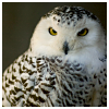 beautiful_dreams_25: owl (Tundra beauty)