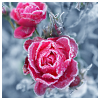 beautiful_dreams_25: snow on red roses (Love)