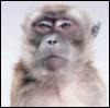 speedingtortoise: I Are Serious Guys (Serious Monkey)