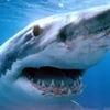 lana_roxolana: (Shark)