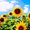 kay_brooke: A field of sunflowers against a blue sky (summer)