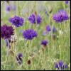 daidoji_gisei: (Cornflower field)
