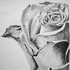 musyc: Black and white image of rose (B/W: Rose)