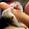 recessional: a mouse attempts to keep hold of a human finger (personal; technical difficulty plz hold)