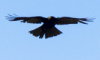 straannick: Eagle, орёл (Default)