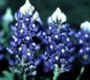 sherylyn: (Bluebonnets)