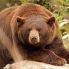 alexconall: cinnamon bear (bear)