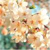 fulminata: (flower - sakura)