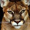 nick_garou: Cougar (Cougar)