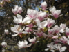 iddewes: (magnolias)