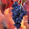 azurelunatic: a bunch of grapes on the vine (grapevine)