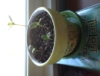 sunhive: A photo of my sunflowers in their clay pot. (baby plants, honeybee pot, sunflowers)