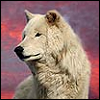 sashajwolf: photo of a white wolf in front of a pink sky (wolf)