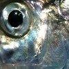 ext_584746: (herring)
