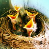 sunnymodffa: (Baby sparrows clamoring)