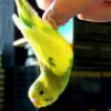 sunnycamehome2u: yellow canary hanging upside down off a human finger (Bobby would like to flip you off)