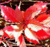 spikesgirl58: (red leaves 2)