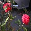 filmnoir: (Roses)