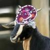 Sombrero Goat