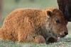 teenybuffalo: (teenybuffalo)