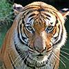 ahowltolightthedark: (tiger)